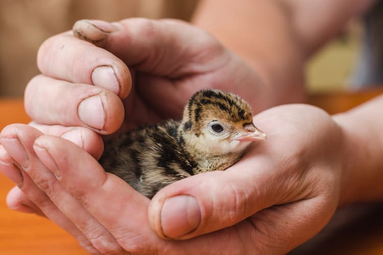 thanksgiving facts about baby turkeys