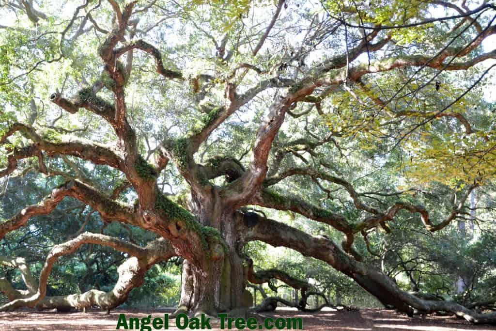 angel oak tree charleston sc