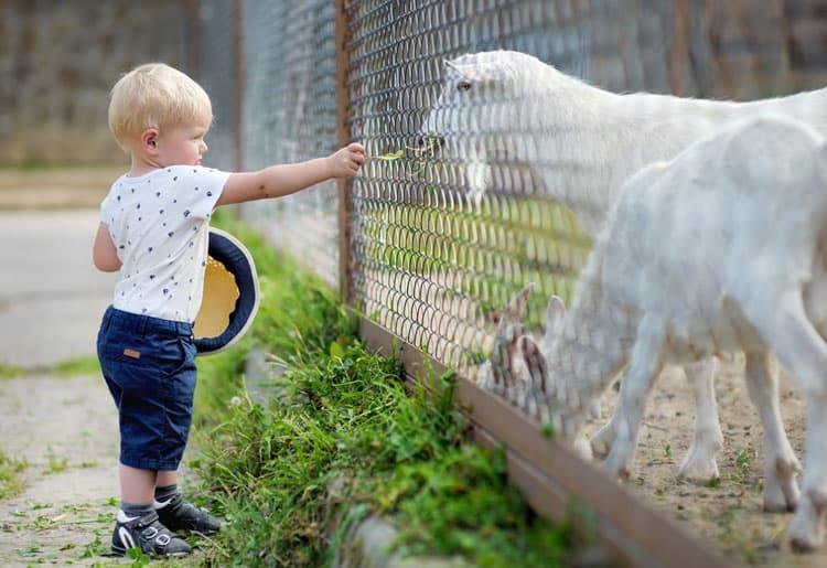 boy feeding goat at goat farm in maui