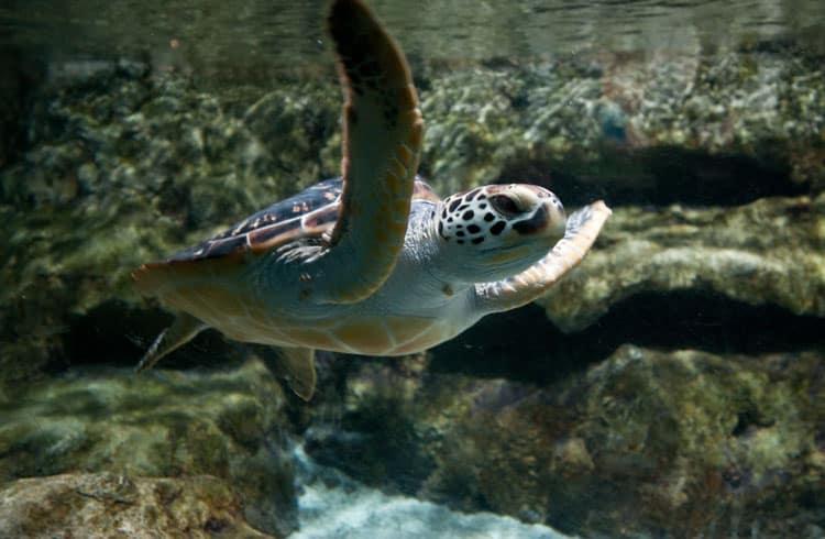 sea turtles in maui