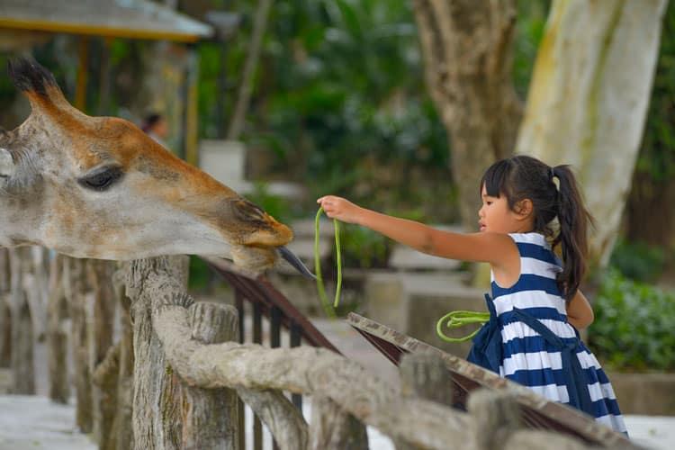 girl feeding giraffe in a safari park