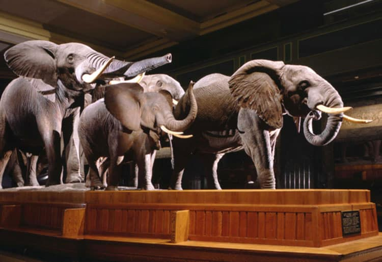 elephant display at the american museum of natural history